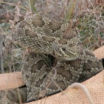 how to keep rattlesnakes away